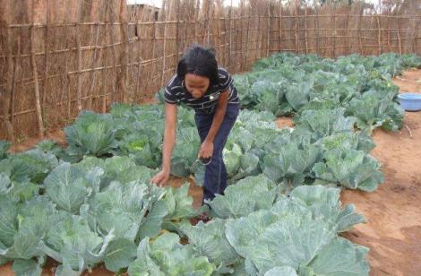 Malawi vegetable–garden_1